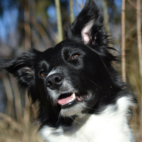 Everything You Need to Know Before You Get a Border Collie