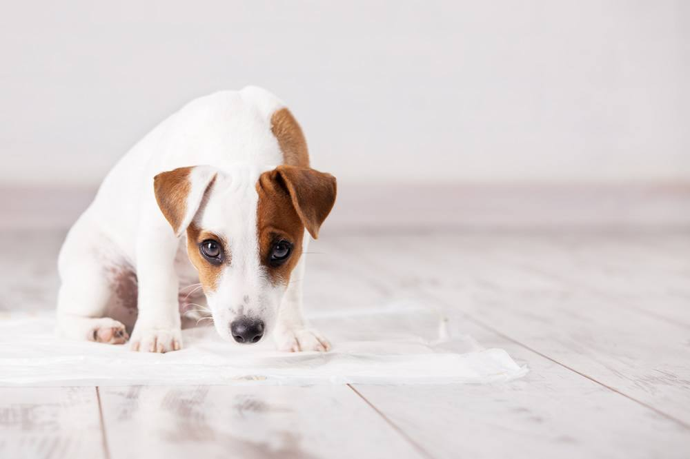 Image result for House Training A Puppy