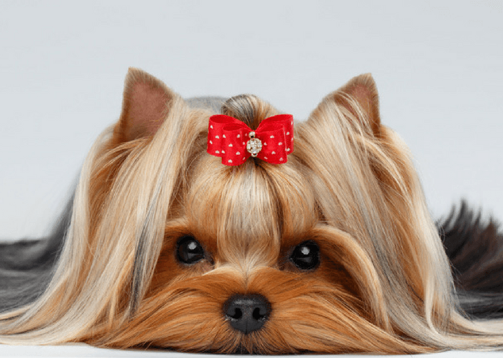 A Look At The Yorkshire Terrier