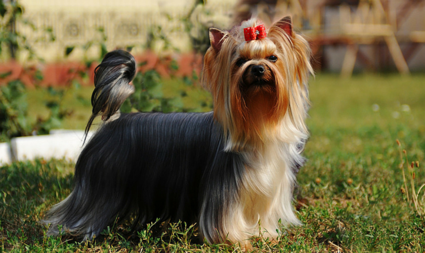 Purebred Yorkshire Terrier