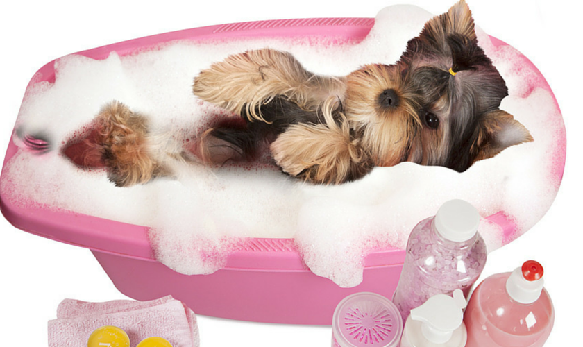 Yorkshire Terrier Care & Maintenance