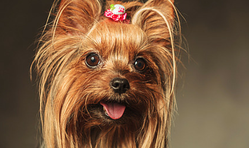 Yorkshire Terrier With Lots of Personality Traits