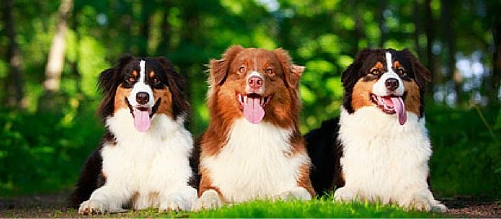 Three Australian Shepherd dogs