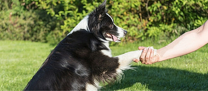 Number six, Border Collies