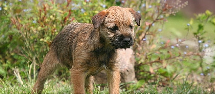 The Border Terrier coming in at number three