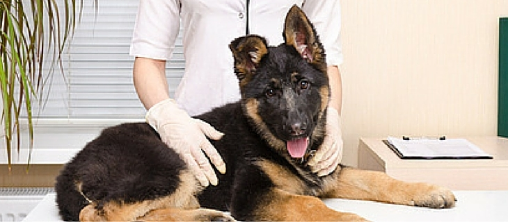 German Shepherd Dog At The Vet