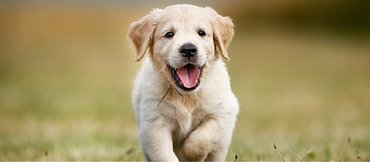 Golden Retriever pup in training