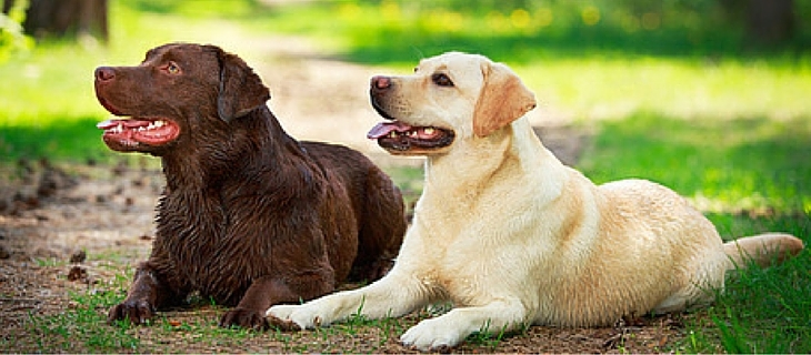 Number four on the list is the Labrador Retriever