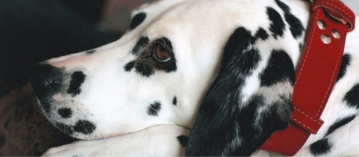 Lethargic Dalmatian Dog