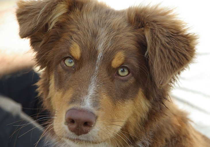 MDR1 Mutation Testing On Australian Shepherds