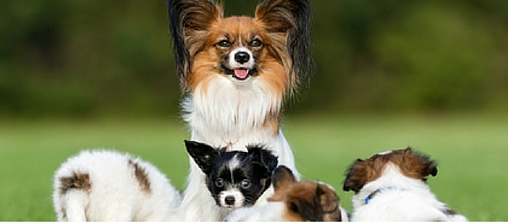 The Papillon is a very trainable dog