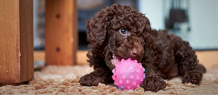 Poodles are number five easy to train dogs