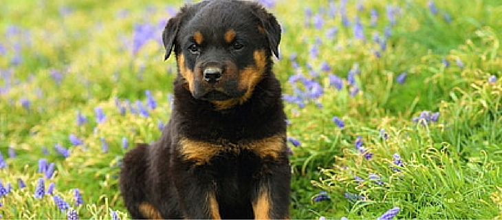The Rottweiler makes the list at number ten