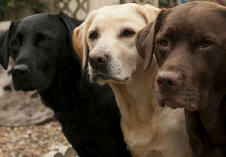 A Look At The Labrador Retriever