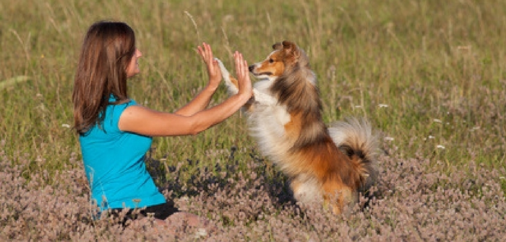Shetland Sheepdog And Trainer In Action