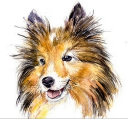 Where Did The Shetland Sheepdog Come From