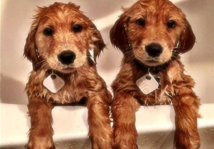 Two pups with the tile for dogs on collar