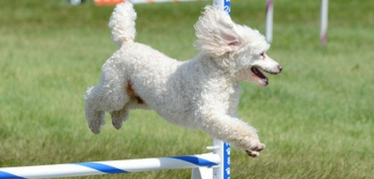 Training Poodles