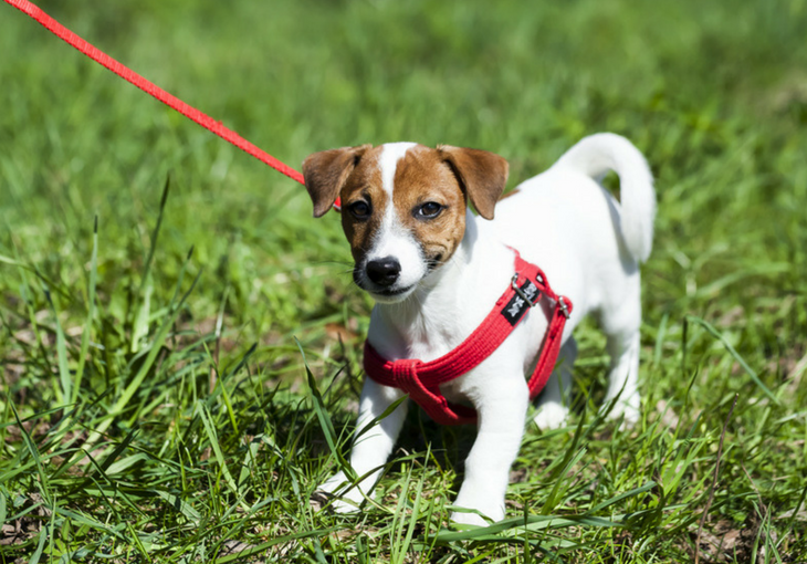 The Beginner's Guide to Leash Training a Dog