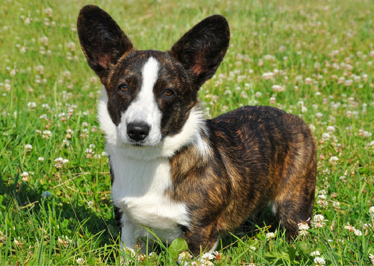 Beautiful Carigan Welsh Corgi