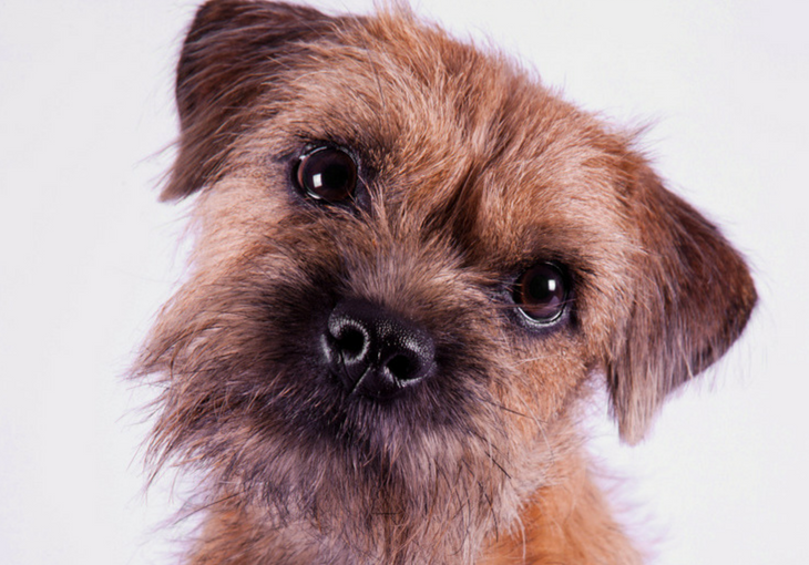 Border Terrier Overview