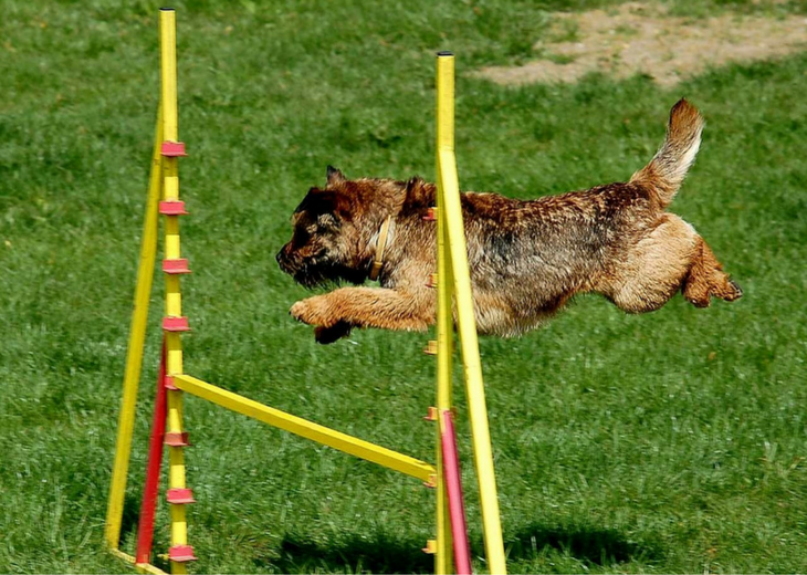 Border Terrier Training