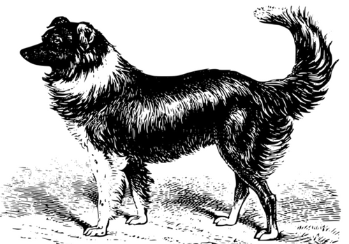 Border Collie Physical Characteristics Image