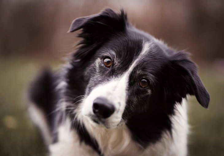 Everything about Border Collies