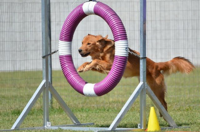 Golden Retriever Doing Agility Training