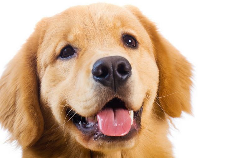 Golden Retriever Dog Image