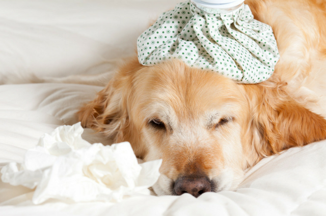 Golden Retriever Feeling Under The Weather