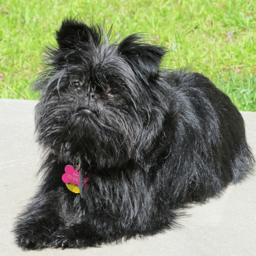 Healthy Affenpinscher Dog