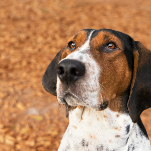 Healthy American English Coonhound