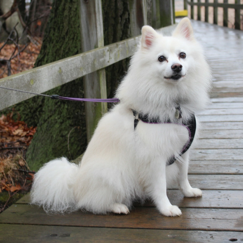 Healthy American Eskimo Dog