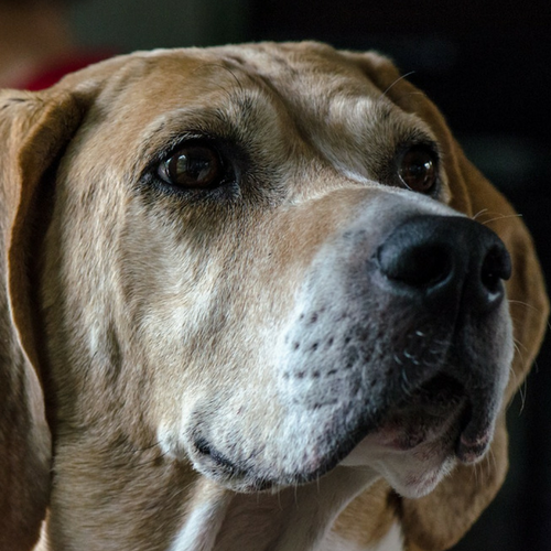 Healthy American Foxhound