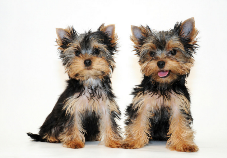 Basics of Yorkshire Terrier Training