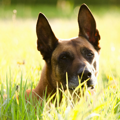 Healthy Belgian Malinois