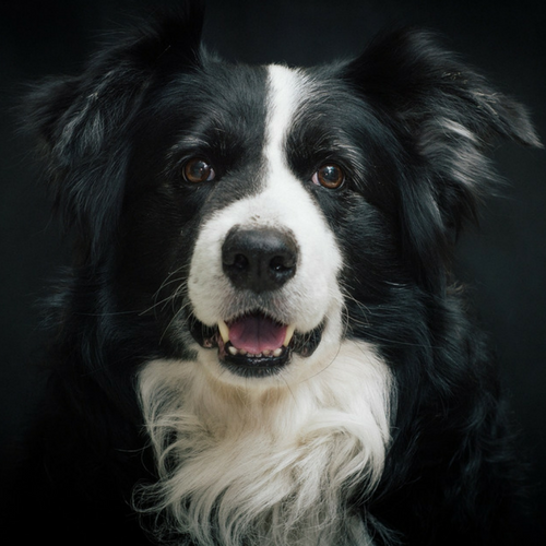 Healthy Border Collie
