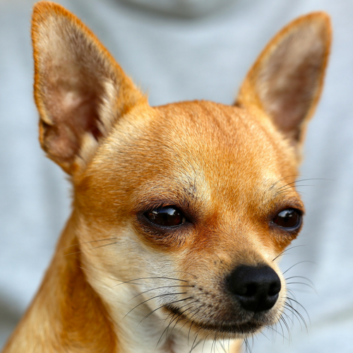 Healthy Breed Chihuahua Image