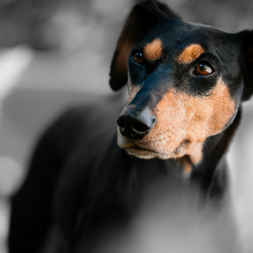 Healthy German Pinscher