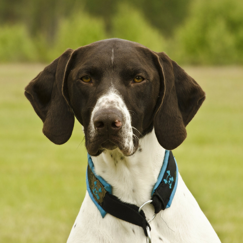 Healthy German Shorthaired Pointer