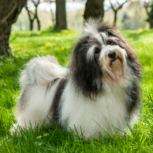 Healthy Havanese Dog