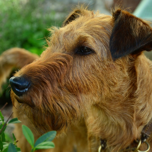 Healthy Irish Terrier