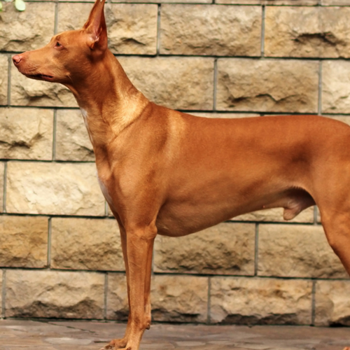 Healthy Pharaoh Hound