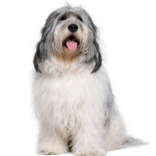 Polish Lowland Sheepdog Image