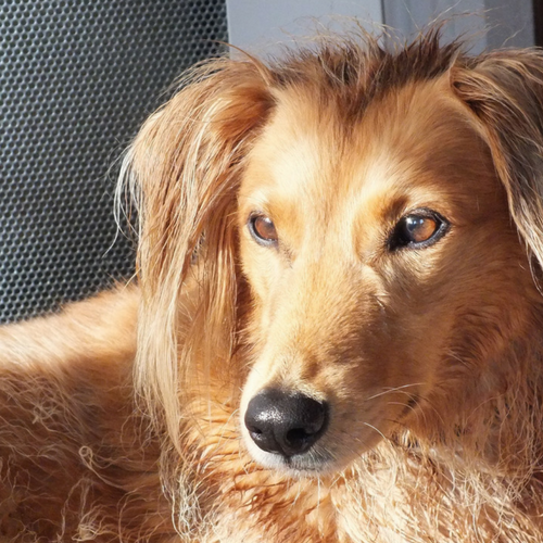 Healthy Saluki Dog Mix