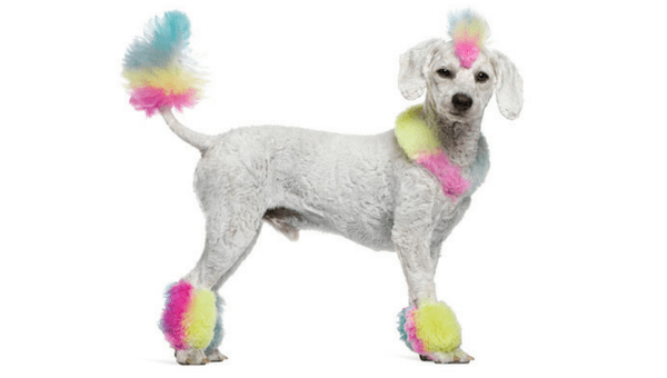 Funky Groomed Poodle