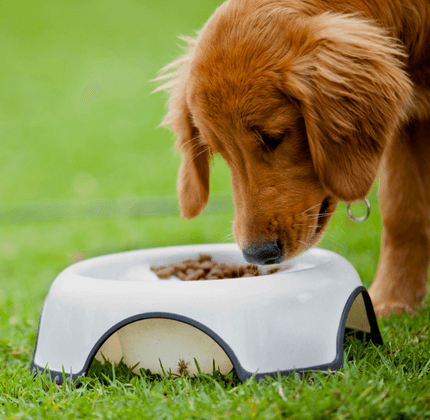 Dog Eating Dog Food Out Of Bowl