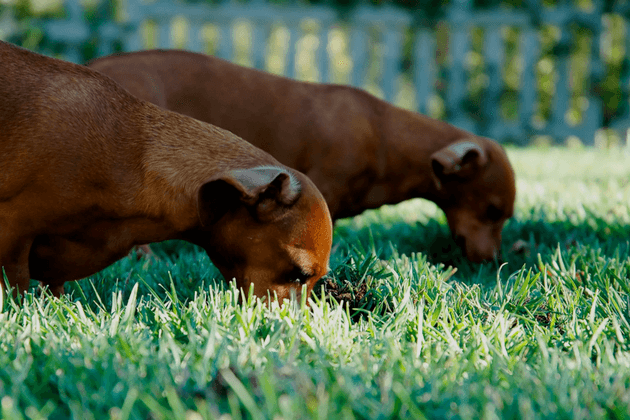 Two Dogs Eating Grass