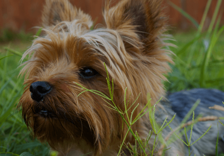 Why Dogs Chew Grass